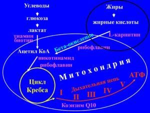 Механизм действия Л карнитина