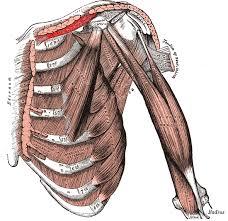 Поперечно-полосатые мышцы