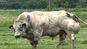 Корова качек