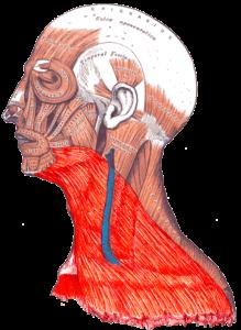 мышца шеи - платизма