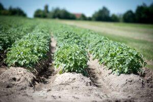 растение картофель