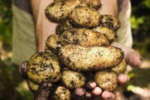 картофель - клубень