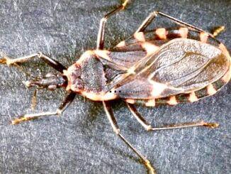целующийся жук